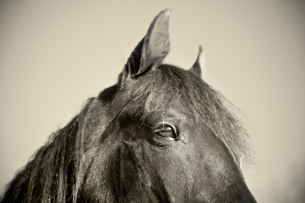 RSmith_HorseCloseUp-7366v3BW_2500.jpg