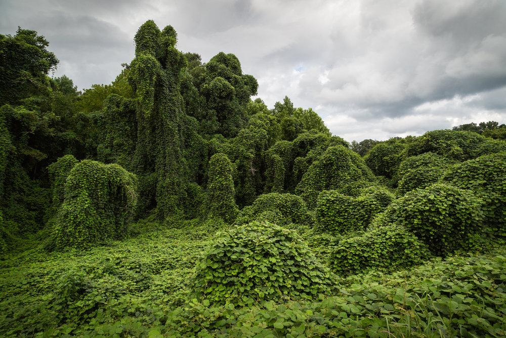 Landscape overwhelmed by Kudzu near Jackson, Tennessee.