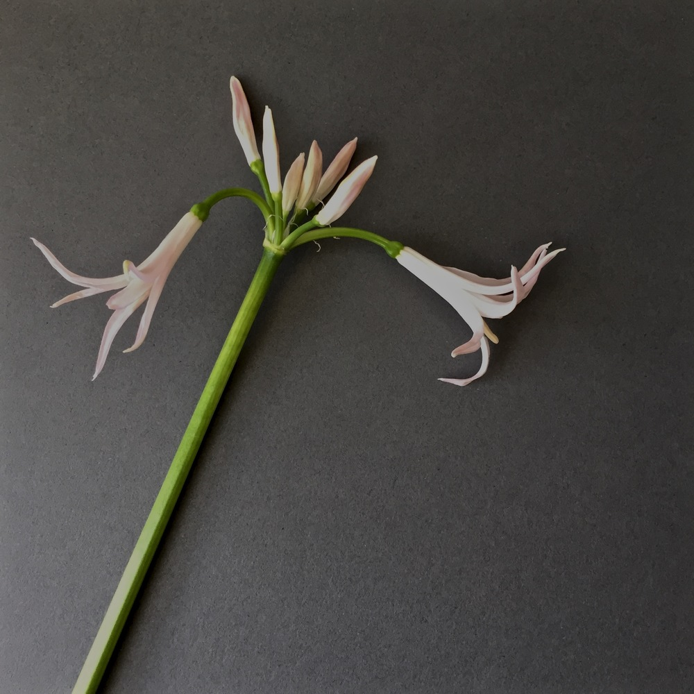 iphonography-flowers-nerine-grey.jpg