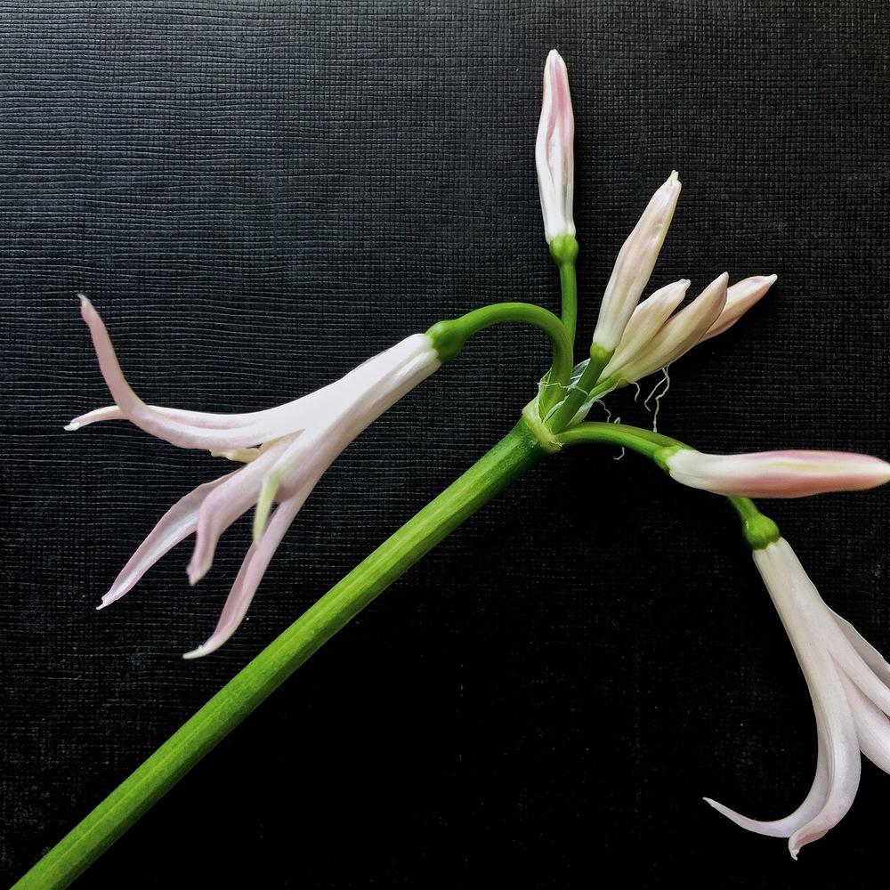 iphonography-flowers-nerineblack.jpg