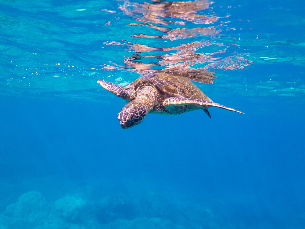 Snorkelling with a Green Sea Turtle at Two Steps | Photo by @mikecloom