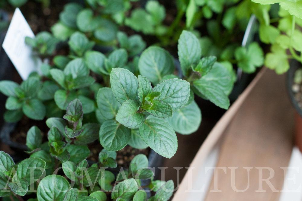 growing organic herbs by erin stewart aromaculture.com-1.jpg
