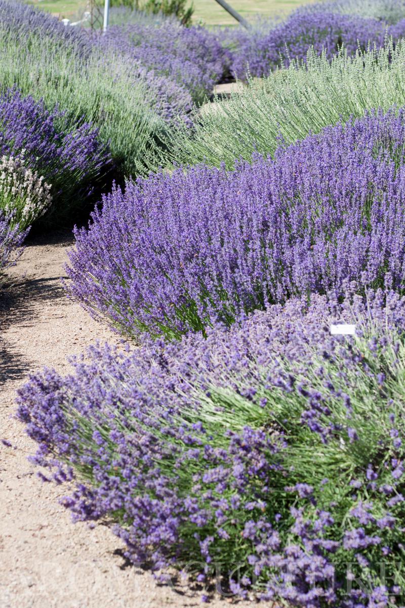 Lavender Days by Erin Stewart ACwm-21.jpg