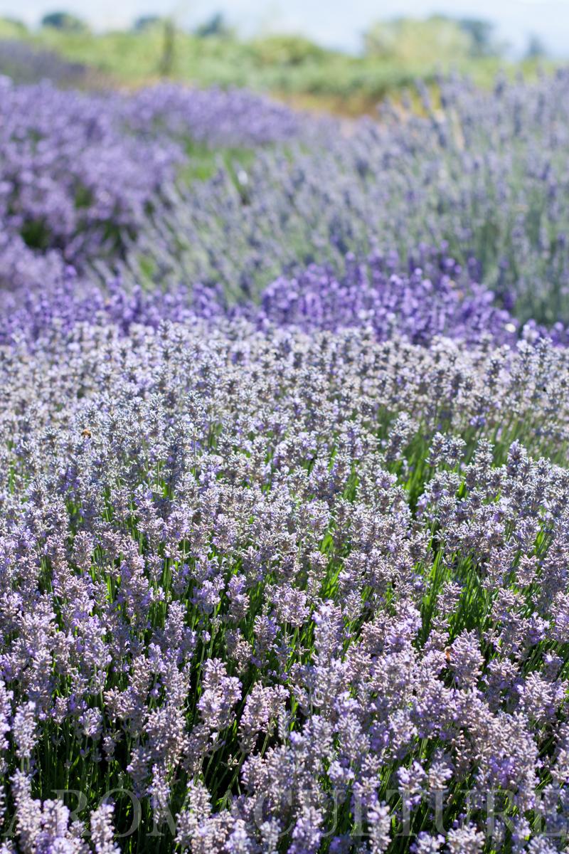 Lavender Days by Erin Stewart ACwm-60.jpg