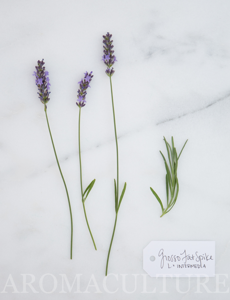 LAVANDULA X INTERMEDIA grosso fat spike by erin stewart-23.jpg