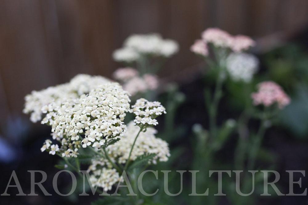 by erin stewart aromaculture.com-15.jpg