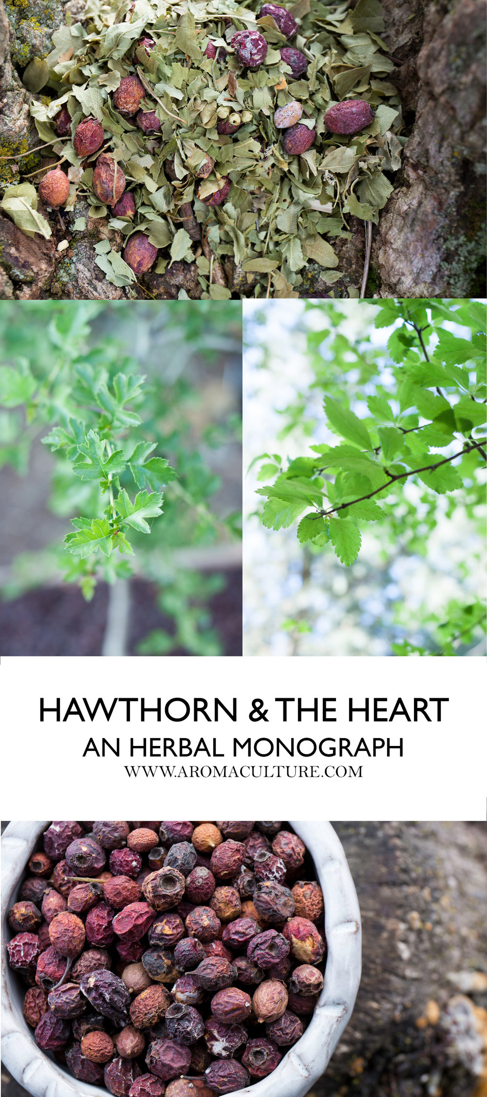 Heart friend - hawthorn. Useful properties of the miraculous plant 26