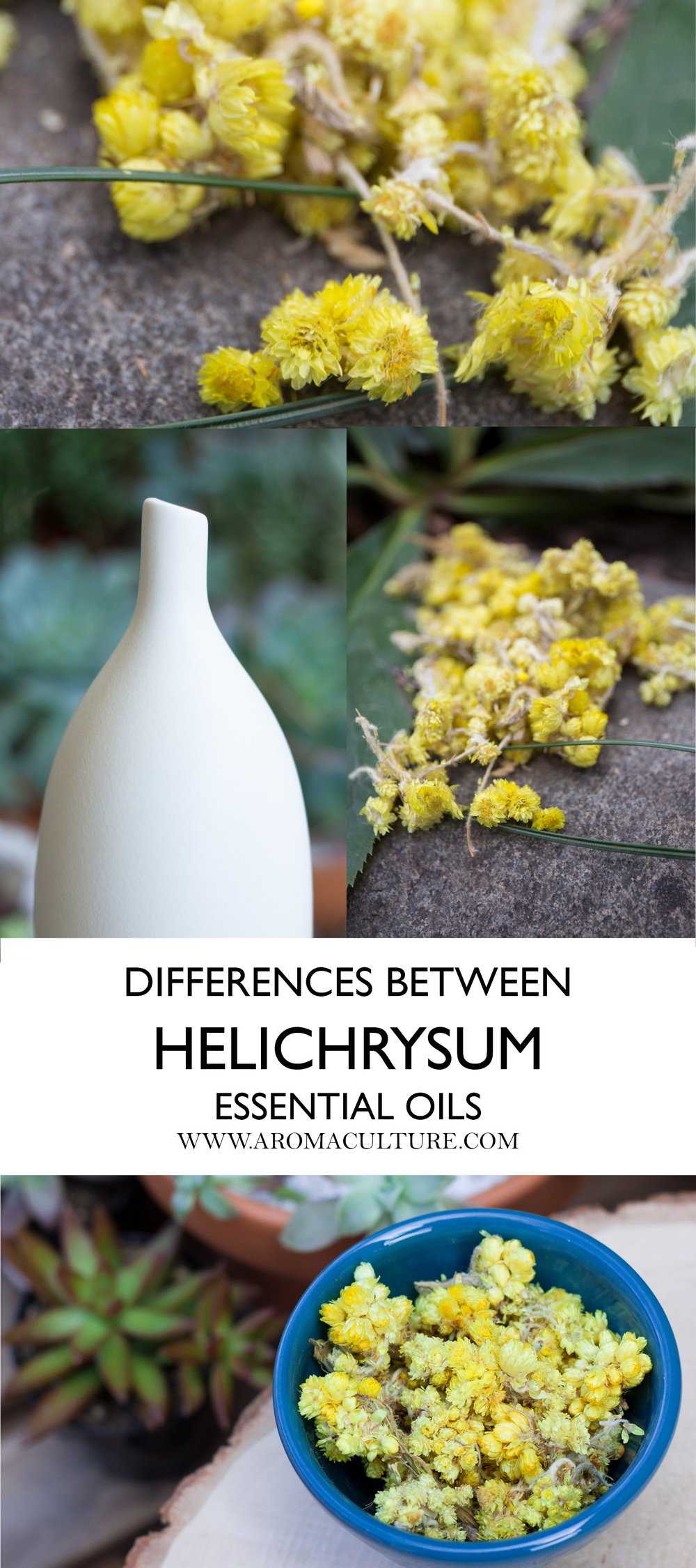 THE DIFFERENCES BETWEEN HELICHRYSUM ESSENTIAL OILS AROMACULTURE.jpg