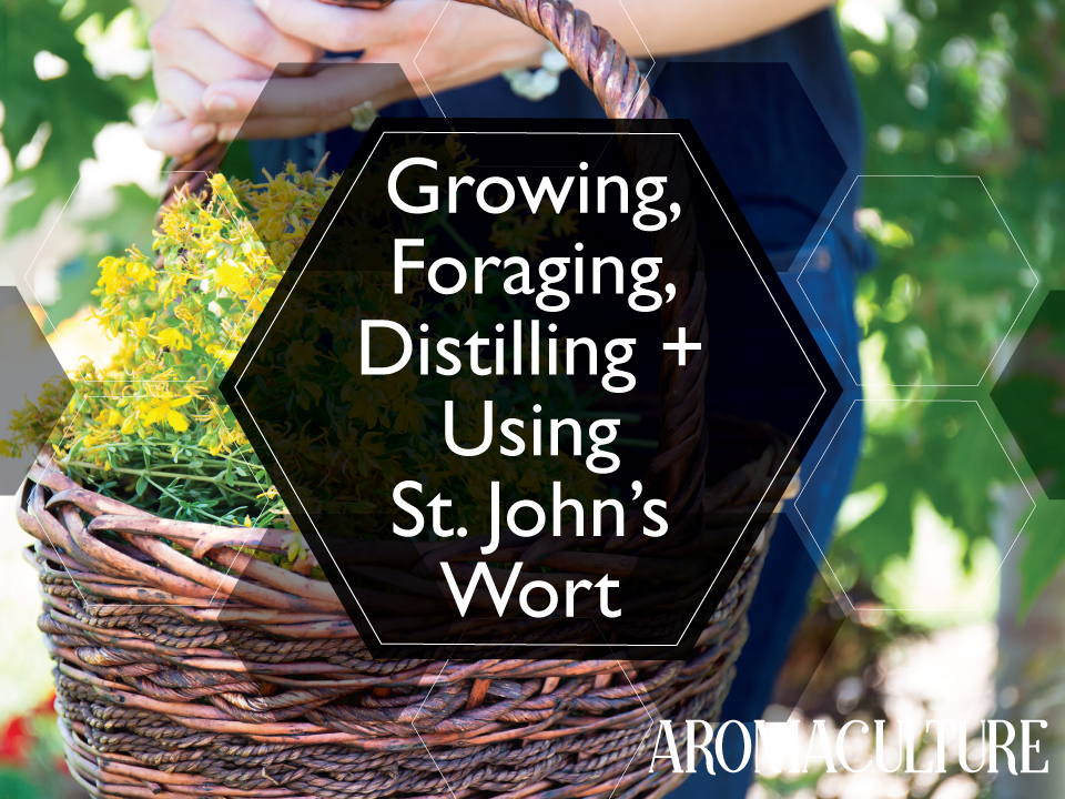 st-john's-wort-aromaculture.png