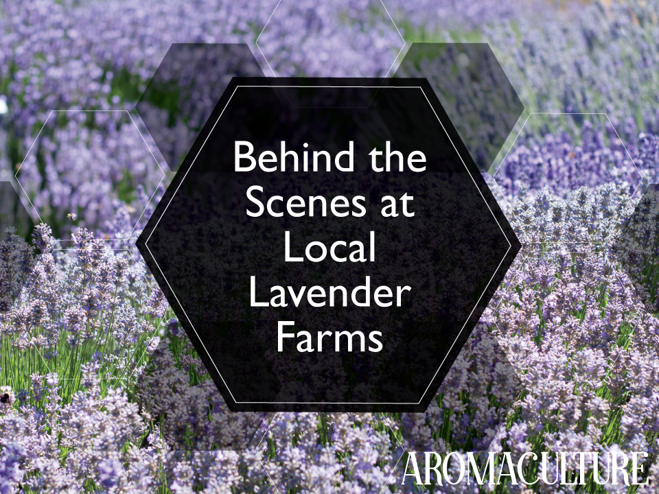 behind-the-scenes-at-local-lavender-farms-aromaculture.com.png