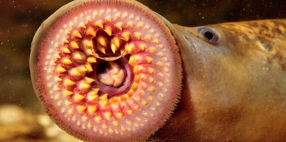Lamprey. Source:http://www.bbc.com/earth/story/20151102-meet-a-lamprey-your-ancestors-looked-just-like-it
