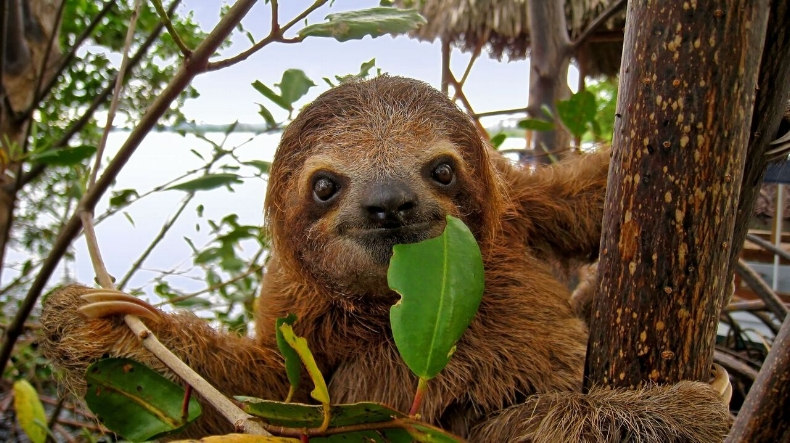 Sloth Eating Leaf
