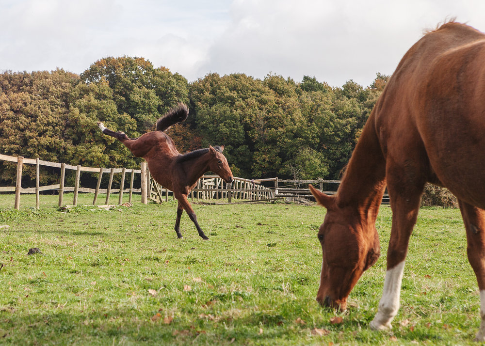 """I am really delighted with the photos Chris took of my foal Storm - she has captured his character and movement beautifully. I was so impressed with the pictures she took of him at 6 weeks that I booked another photo shoot at 16 weeks! The sessions were great fun and the results stunning. I can't recommend Chris highly enough"""