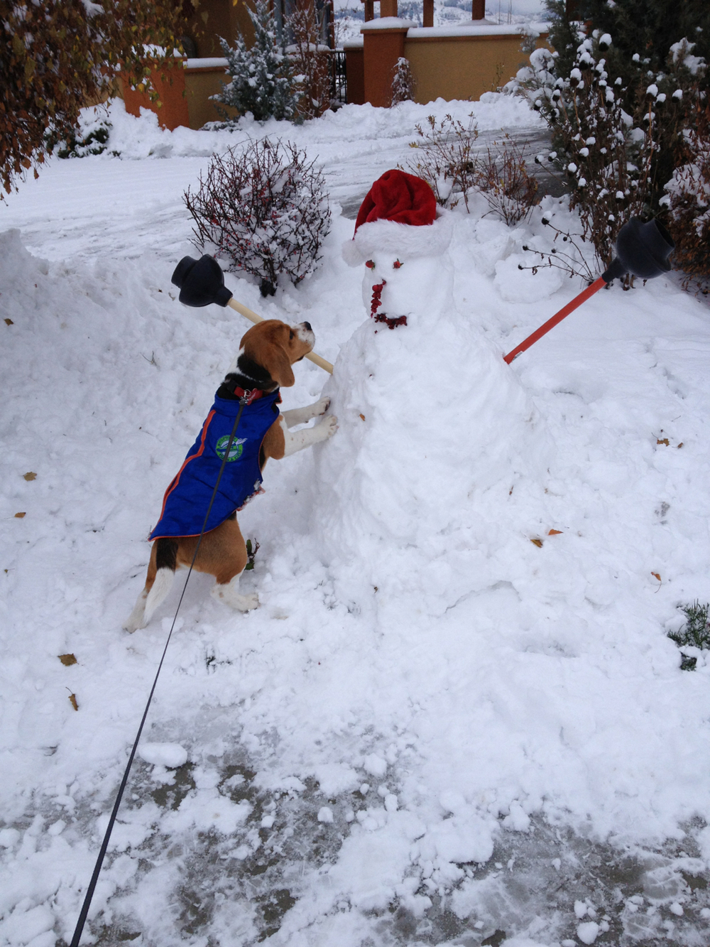 Kelly's First Snowman  I may not have kids (yet/ever), but my man and I have a baby boy, Kelly! (Yes, a boy beagle named Kelly ~ after Gene Kelly because this beagle sings in the rain. It's true!) It snowed yesterday, so I was curious, what does a rain howling dog do in the snow?   Well, he barks, digs and then pees in the snow (and eats it). But then he did something more, which surprised me. He made a snowman. I mean, he ain't no Michelangelo, but he packs a punch in the snowman making dept. Tho he kept eating the eyes off!