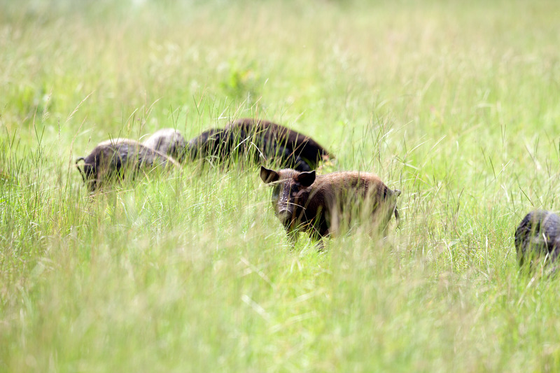 Feral Swine Control - In 2017, the Brier Creek Conservation District initiated a feral swine control program within their district to assist producers and landowners who are experiencing significant damage. Brier Creek currently does not charge landowners a fee for use of the feral hog control equipment.
