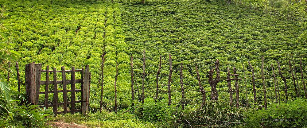 Tea field - Lahijan, Iran