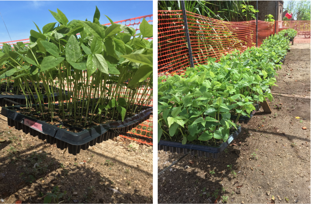 Experimental growth of Cowpea (Vigna Unguiculata) in various concentration of coconut husk biochar inoculated with seaweed liquid extract biofertilizer.