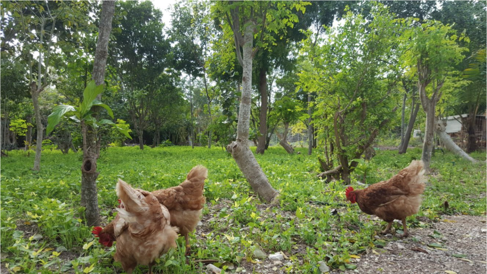 Free-range chickens amongst planted cover crop (e.g. Cowpea, Vigna Unguiculata) within the CSD orchard.