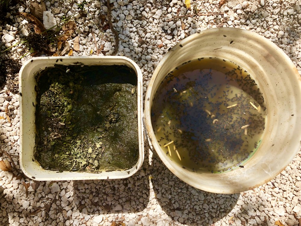 Fermented moringa becomes a natural liquid fertilizer.