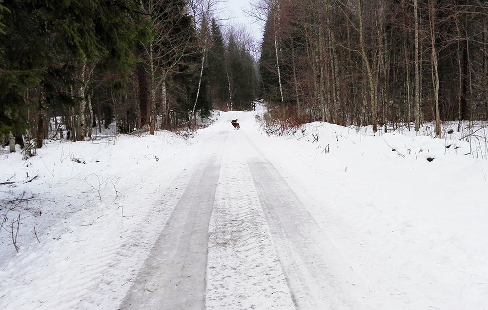Our dogs leading the way down the forest road: Emma, Muša (means fly in Latvian), and the big one is Sisis.
