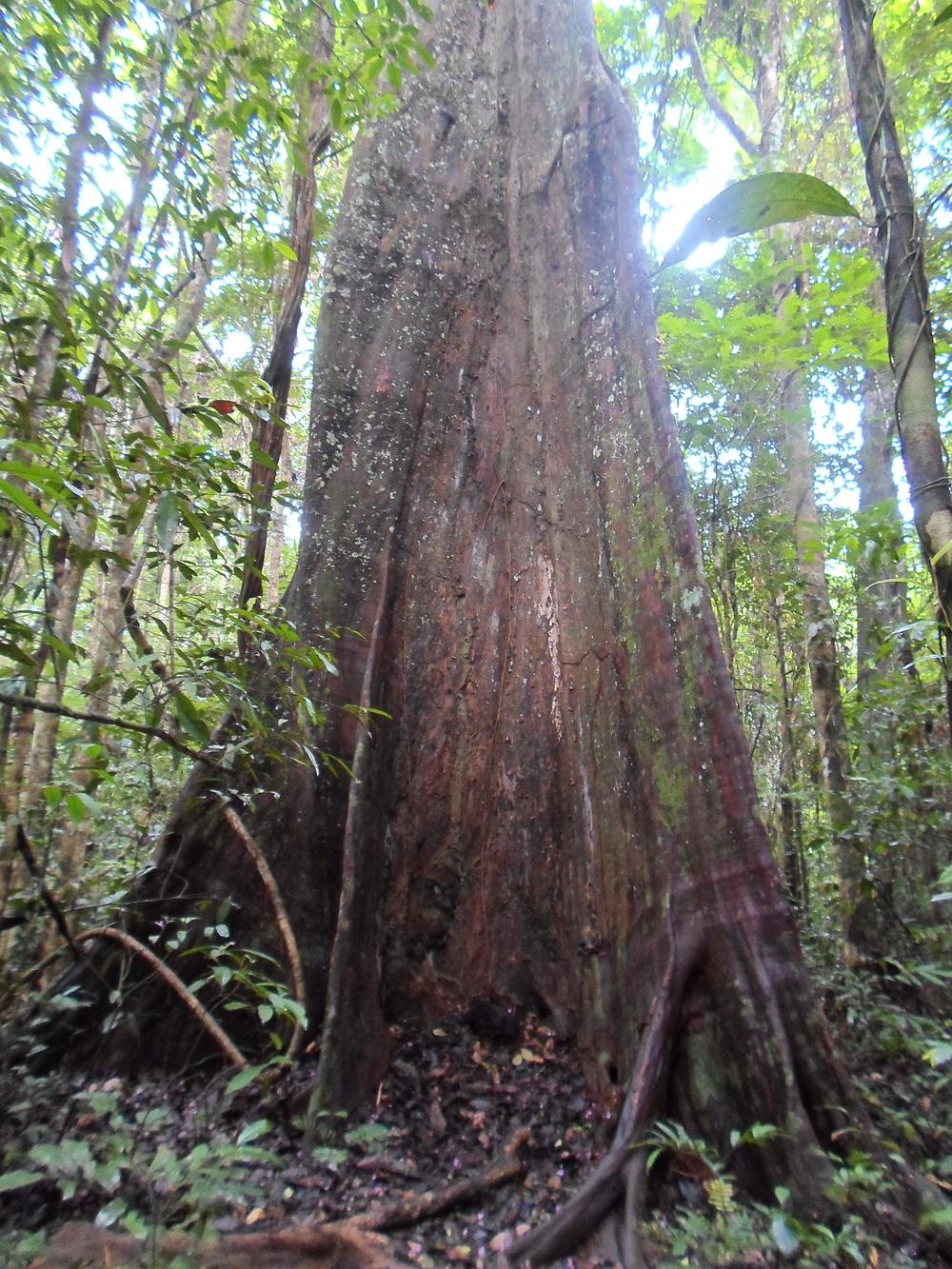 Mora tree, Guyana