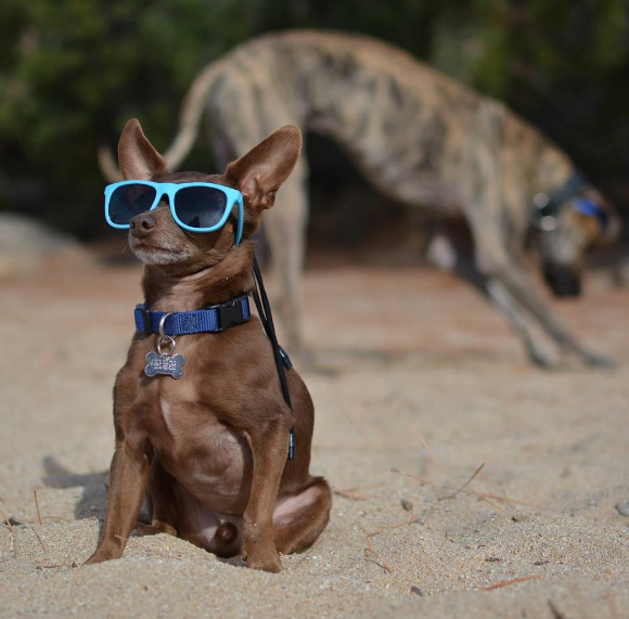 small dog in the sand blue shades.PNG