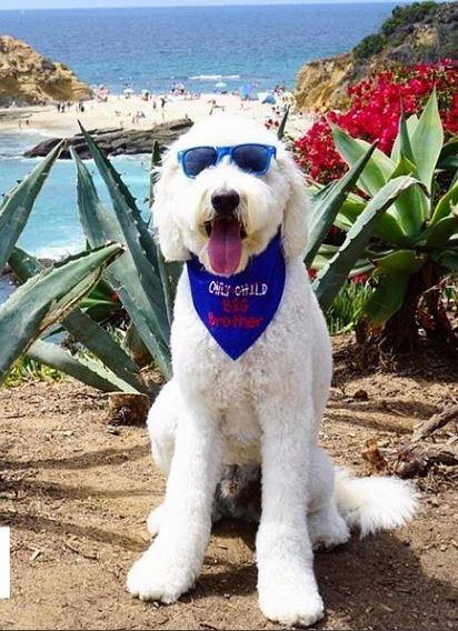 large blue hawaii white fluff dog.JPG