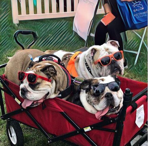 3 bulldogs.JPG