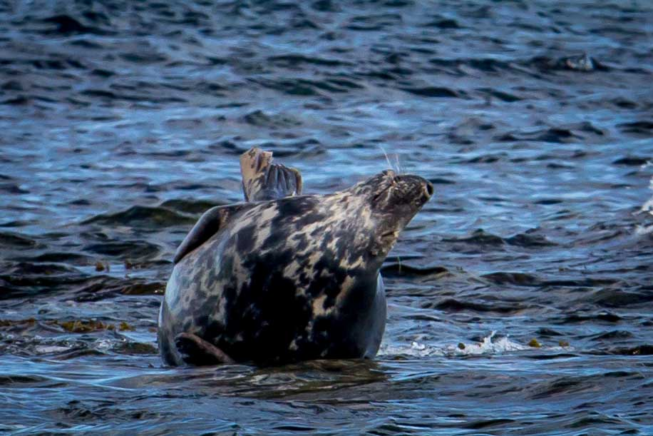 Pregnant female grey seal looking pretty happy with life