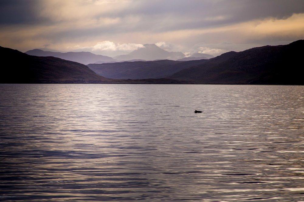 Harbour porpoise - Isle of Skye