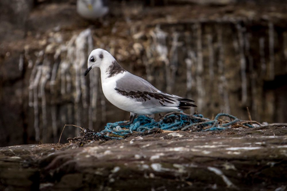 Kittiwake in a nest of plastic