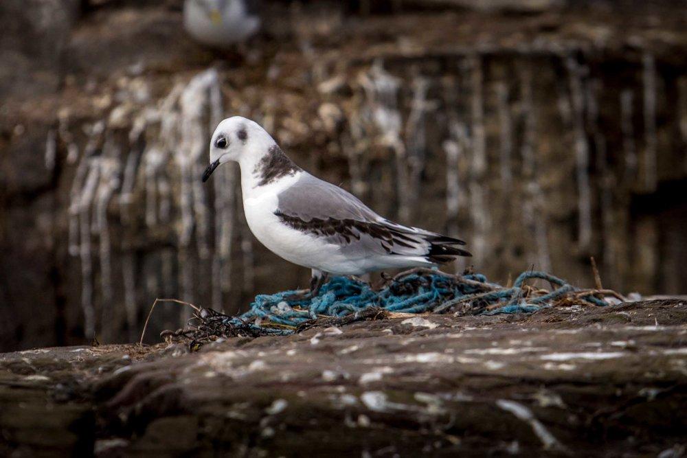 Kittiwake using marine plastic as a nest
