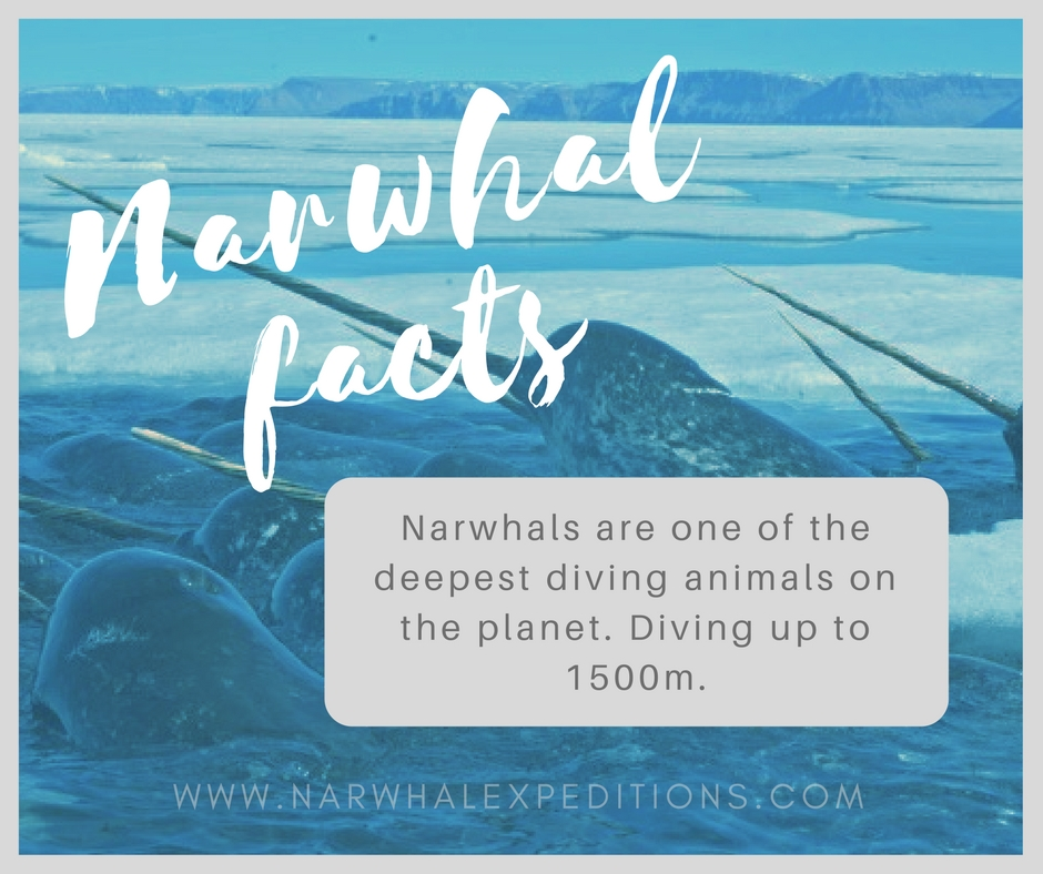 Narwhal_facts1.jpg