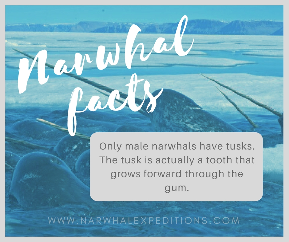 Narwhal_facts2.jpg
