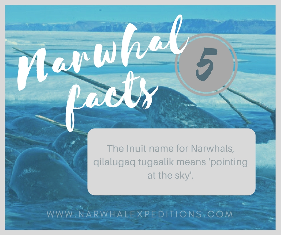 Narwhal_facts5.jpg