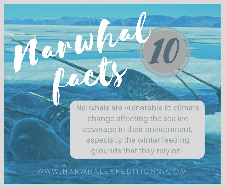 Narwhal_facts10.jpg