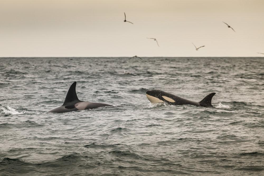 Orca-5.jpg