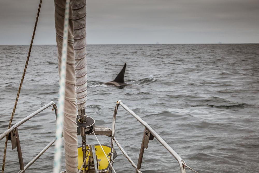 Orca-8.jpg