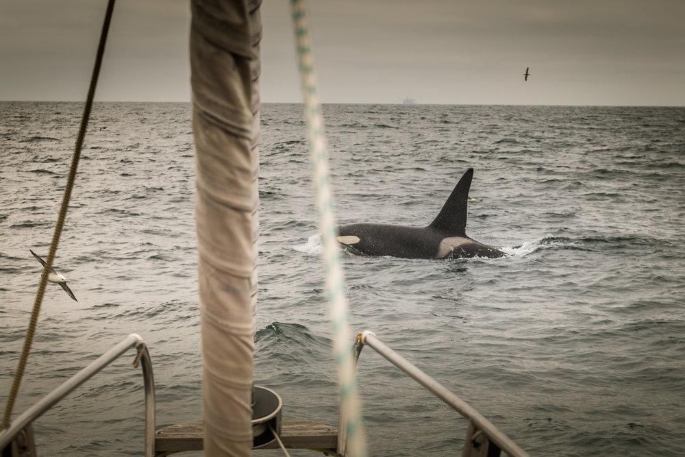 Orca-12.jpg