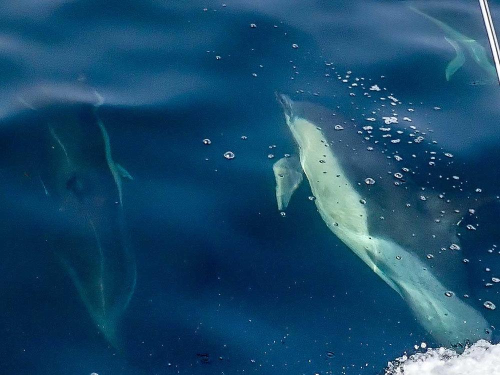 Common dolphins cetacean survey
