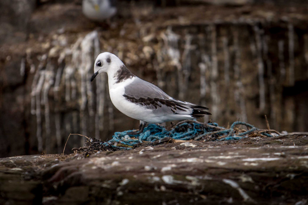 Gull nesting in plastic pollution