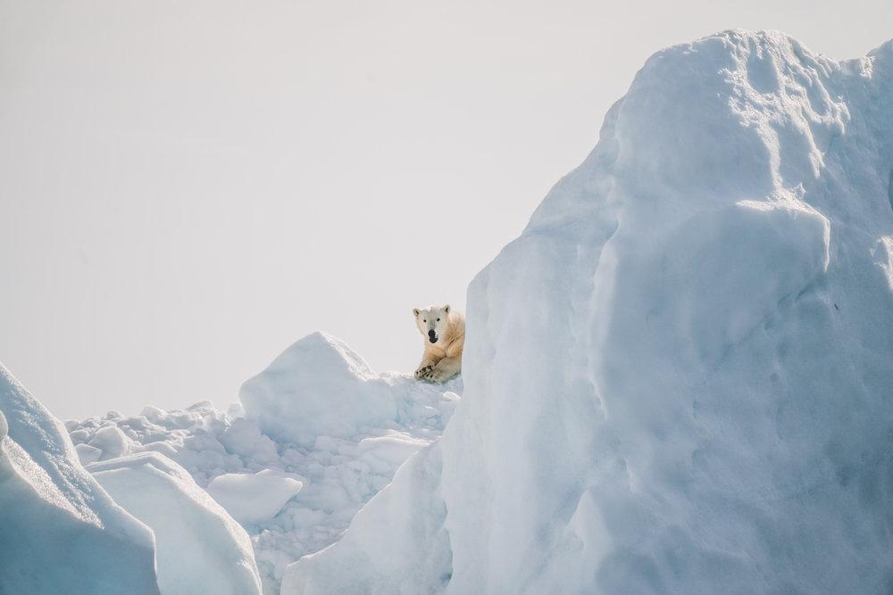 Polar bear on Svalbard