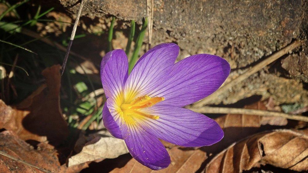 Crocus healing flower