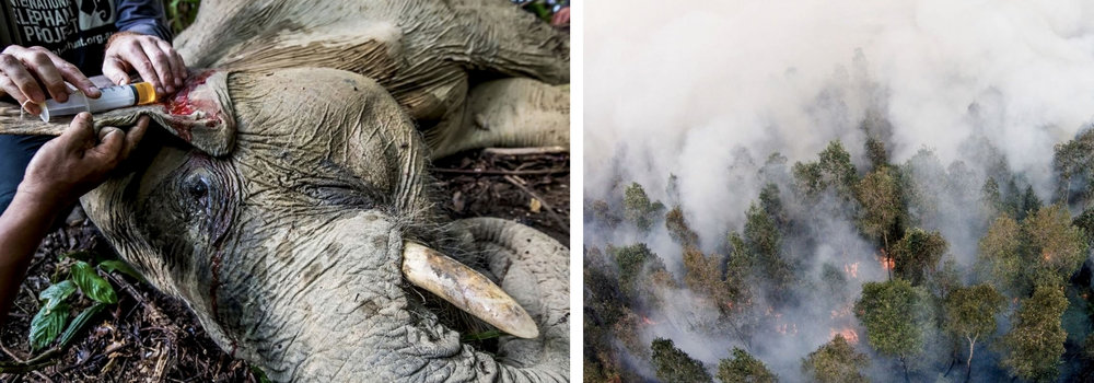 Photo: Paul Hilton. Oil palm plantations forcing wildlife, including Critically Endangered Sumatran elephants, to live in ever-shrinking habitat, fortunately this elephant was saved by Wildlife Asia.
