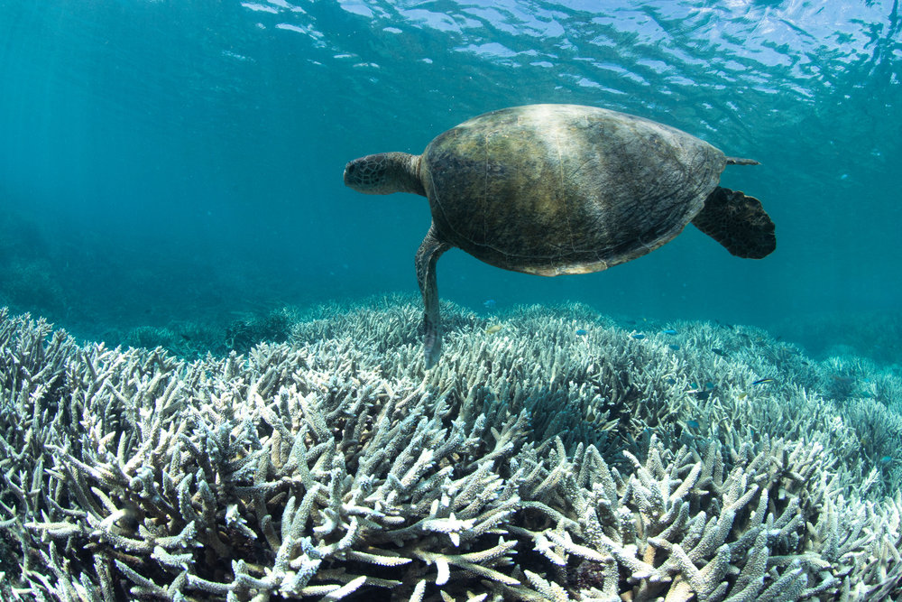 027 Turtle and Bleached Coral at Heron Island.jpeg