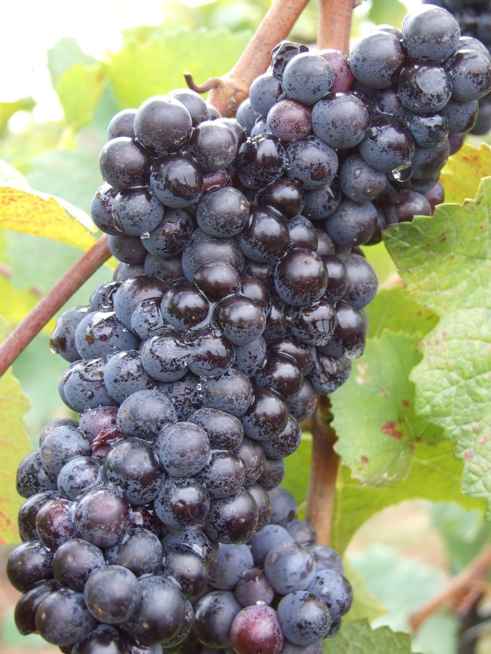Pinot_Noir_grapes_after_veraison.jpg