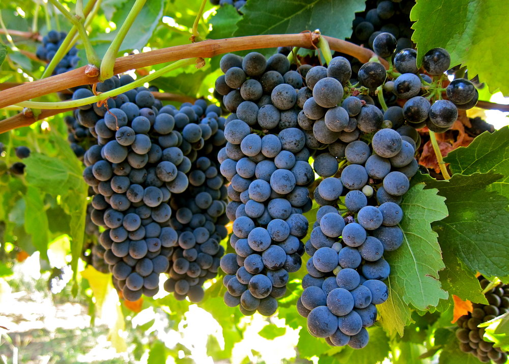 Petite Sirah grapes showing just what lays in store, a rich, heavy, juicy, full bodied red wine!