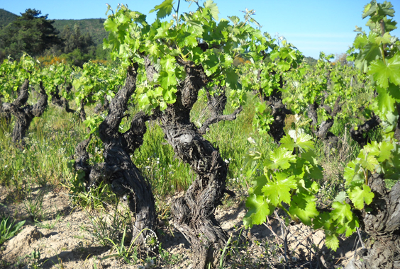 The twisted vines give way to the fruit, devoting themselves to their craft.
