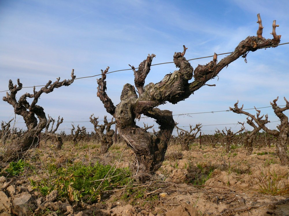Old vines may look like dark, twisted souls that have stood the test of time. But the concentrated fruits make for awesome wines.