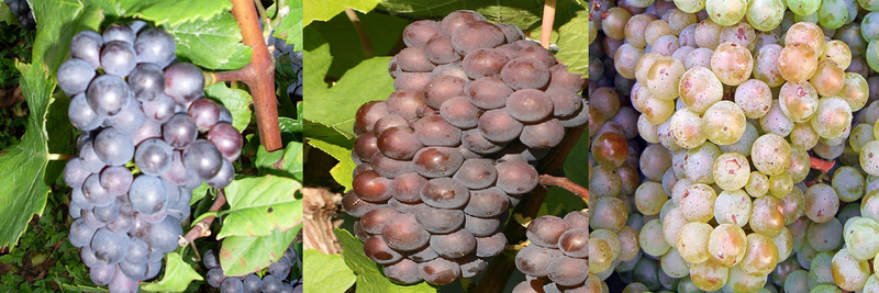 Pinot Gris (middle) and Pinot Blanc (right) are mutations of the Pinot Noir grape (left)